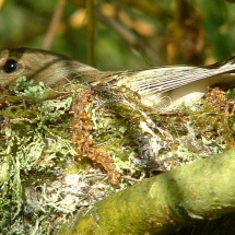 chaff on Willow