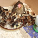 Wyandotte chicks with partridge broody