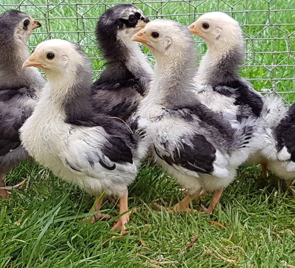 blue mottled chicks