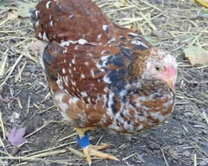 Young red millefleir cockerel